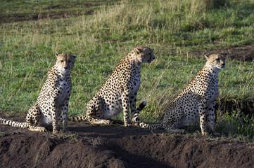 Cheetahs, sitting at dawn in the Masai Mara