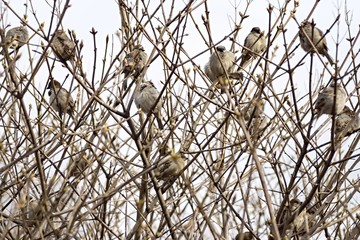 sparrows sit in thickets of bushes