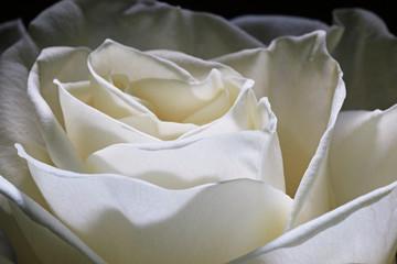 snow-white rose petal macro