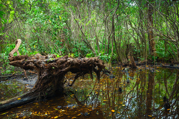Wild dark tropical forest landscape with mangrove trees