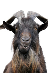close-up portrait of a goat, isolated on white