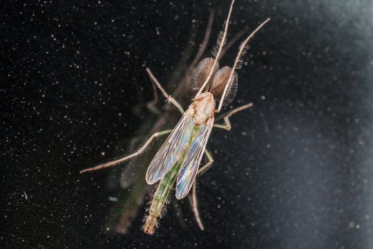 Chironomidae midge macro