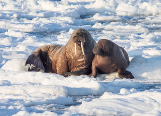 Door stickers Arctic Couple of walruses on the ice - Arctic, Spitsbergen