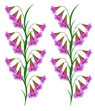 Morning Glory flower isolated on white background