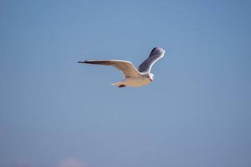 White sea gull flying in the blue sky