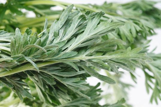 Wormwood (Artemisia absinthium L.) on white