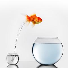 Gold fish jumping to big fishbowl