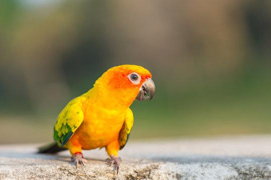 Beautiful colorful parrot, Sun Conure