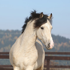 Fototapete - Gorgeous welsh cob running in autumn