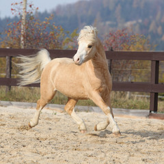 Fototapete - Gorgeous welsh mountain pony running in autumn