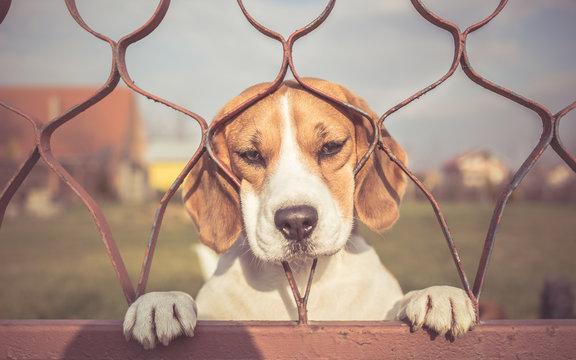 Sad Beagle dog looking through gate