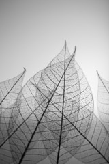 Skeleton leaves on grey background, close up