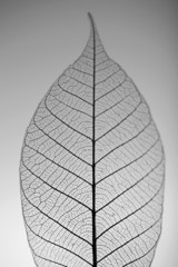 Keuken foto achterwand Decoratief nervenblad Skeleton leaf on grey background, close up