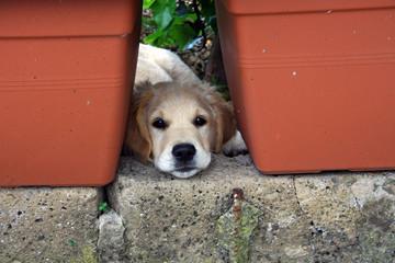 Cane di razza Golden Retriever che si riposa in giardino