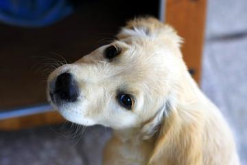 Un Golden Retriever, un cane con la testa girata