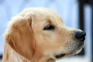 Un Golden Retriever, profilo di cane