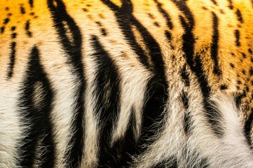 Tiger furs background