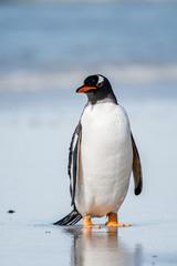 Gentoo penguin portrait, Antarctica