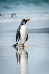 Little cute gentoo penguin and its reflection in the water