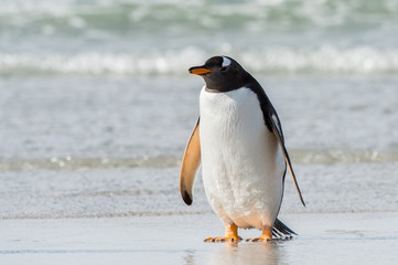 Gentoo penguin in the ocean portrait