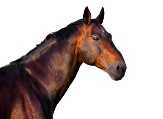 Wall Mural - Portrait of a dark brown horse on a white background