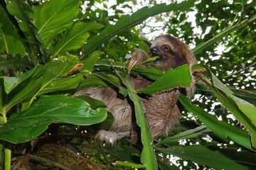 Young three-toed sloth eating leaf in the jungle