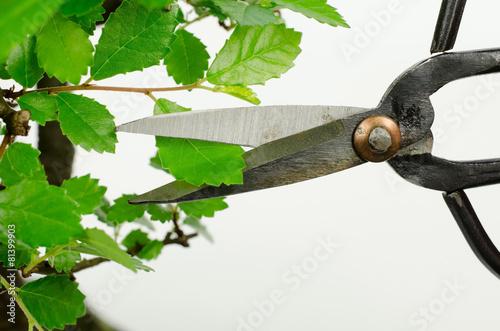 Blattschnitt, Bonsai (chinesische Ulme)\