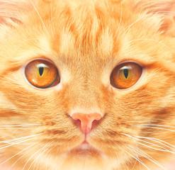 ginger cat background