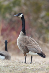 Canada Goose Scanning its Surroundings