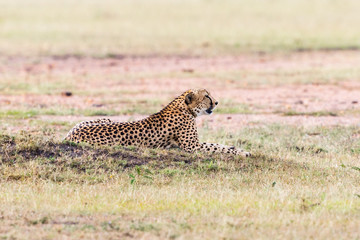 Cheetah lying in the grassland