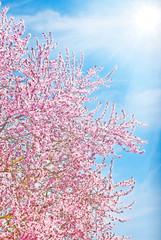 Kirschblüte im Gegenlicht