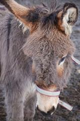 L'âne de Valloire