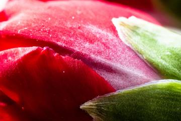 Carnation close up