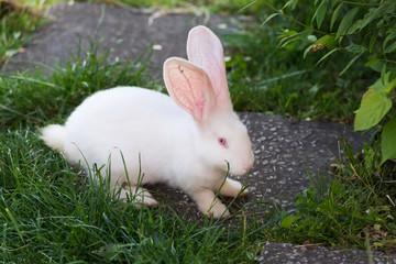 Funny white rabbit in grass.