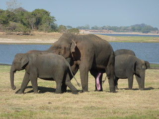 ゾウのカップル