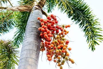 Cyrtostachys renda (Sealing wax palm, Lipstick palm, Raja palm,