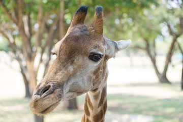 Reticulated giraffe portrait