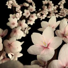 Pink Cherry Blossom or Sakura Isolated on Black.