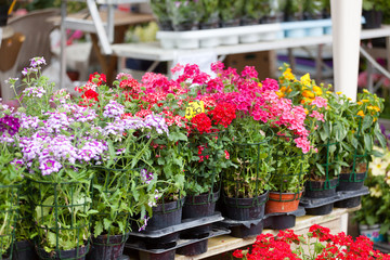 blossoming houseplants to stand on show-window of flower shop