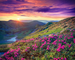 Wall Mural - pink rhododendron flowers in the mountains at sunrise