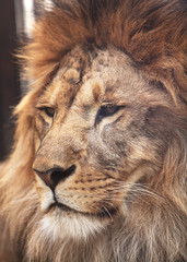 Portrait of calm lion