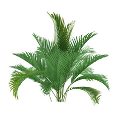 Palm tree isolated. Chamaedorea cataractum