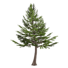 Tree pine isolated. Cedrus libani
