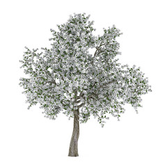 Blossoming tree with white flowers. Pyrus.