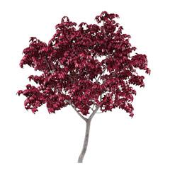 Tree isolated. Acer japonicum