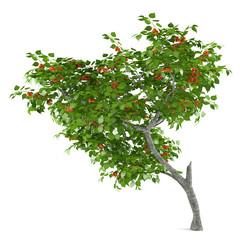 Fruit tree isolated. Prunus armeniaca