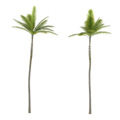 Palm tree isolated. Archontophoenix