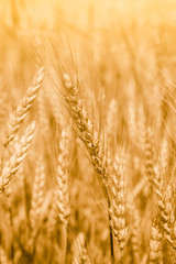 Wheat field with fully ripe spikelets