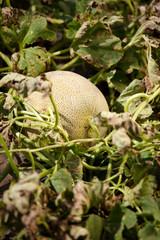 Melon in a vegetable garden