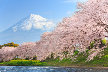 Printed kitchen splashbacks Japan Cherry blossoms or Sakura and Mountain Fuji in background